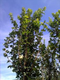 Spaanse Aak (Acer campestre)
