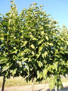 Beverboom (Magnolia Kobus)