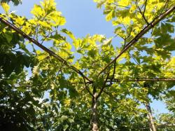 Dakeik (Quercus palustris)