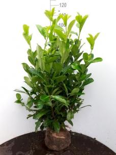 Prunus laurier Rotundifolia