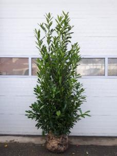 Prunus laurier Caucasica