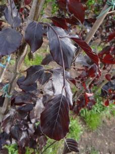 Rode Treurbeuk
