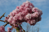 Prunus serrulata 'Kanzan' (Japanse sierkers)