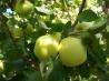 Appelboom Golden Delicious