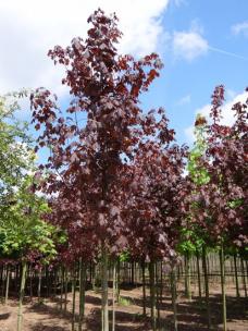Rode Esdoorn (Acer plat....