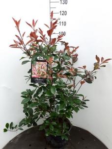 Photinia Red Robin struik
