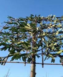 Leilaurier (Prunus l....