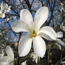 Lei Magnolia (Magnolia Kobus)