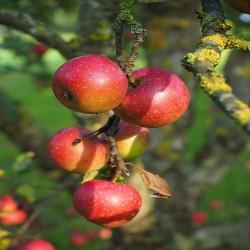 Appelboom Rode Boskoop