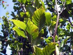 Groene Zuilbeuk