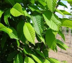 Leihaagbeuk (Carpinus Betulus)