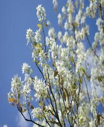 Krentenboom