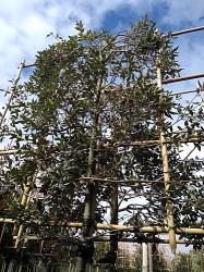 Leisteeneik (Quercus Ilex)