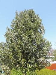 Steeneik (Quercus Ilex)