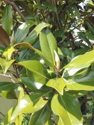 Magnolia Grandiflora...